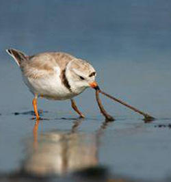 Piping Plover feeding in mud flat