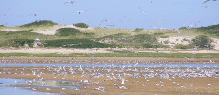 Roseate and Common Terns roost on mudflats at Cape Cod National Seashore