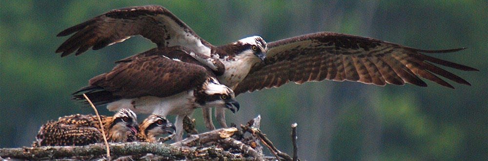 Ospreys on nest © Peter Gray