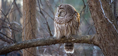 Barred Owl sleeping in winter at Arcadia © Christina Radcliffe