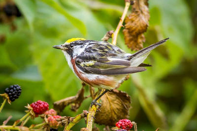 Chestnut-sided warbler © Phil Doyle