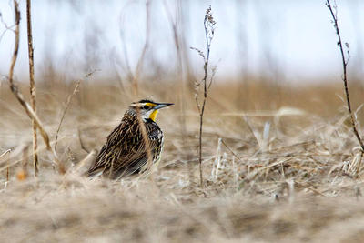 Eastern Meadowlark at Arcadia © Beth Finney