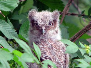 Baby owl at Blue Hills Trailside Museum