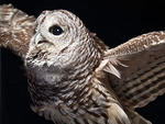 barred owl © Peter Sutton