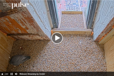 Custom House Peregrine Falcon Cam screenshot