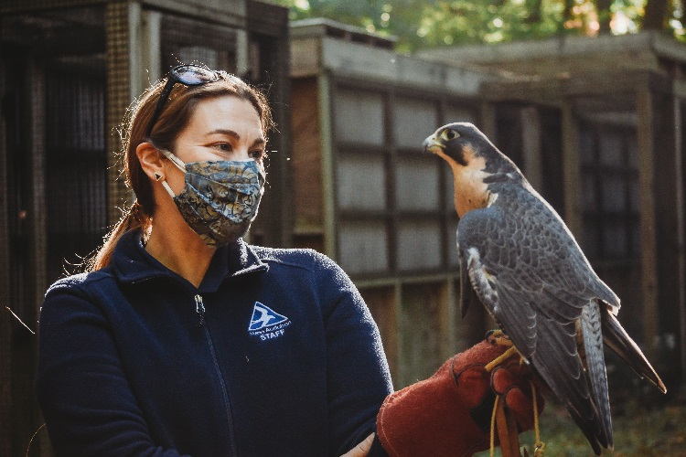 Naturalist with a Peregrine Falcon