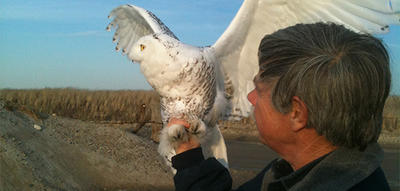 Norman Smith about to release a rescued Snowy Owl