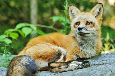 One of the resident Red Foxes at Blue Hills Trailside Museum
