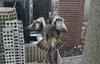 Peregrine Falcon in Boston