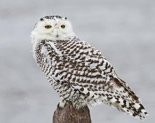 Snowy owl at Joppa Flats © David Larson, Mass Audubon