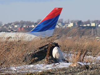 Snowy owl in front of plane at Logan Airport by Norman Smith