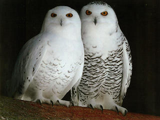 snowy owl pair at blue hills
