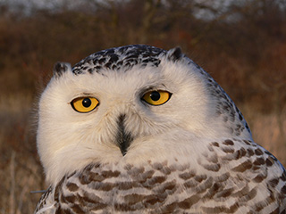 snowy owl © Norman Smith