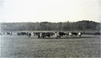 Cattle at Pierce Farm