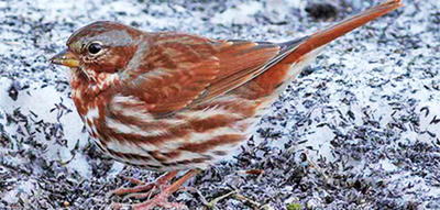 Fox Sparrow in winter at Boston Nature Center
