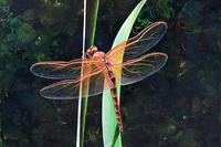 """Dragonfly on Blade of Grass"" painting © Lindsay Nygaard"