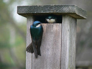 Tree Swallows in nest box