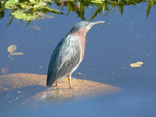 Green heron at Daniel Webster Wildlife Sanctuary