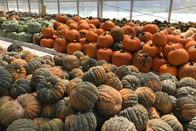 Colorful variety of edible pumpkins in the greenhouse at Drumlin Farm Wildlife Sanctuary
