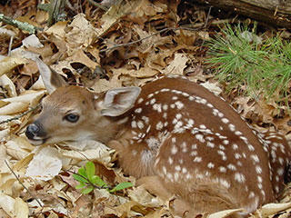 A fawn lying in the leaves