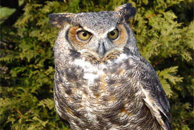 Great Horned Owl at Drumlin