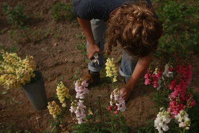 Person harvesting flowers in the fields at Drumlin Farm Wildlife Sanctuary