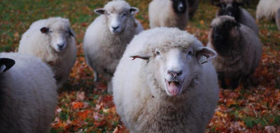 Sheep baa-ing at the camera in fall at Drumlin Farm