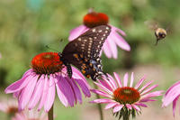 Butterfly and bee on purple coneflower