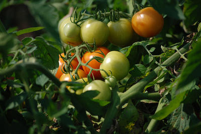 Tomatoes growing on the vine at Drumlin Farm Wildlife Sanctuary