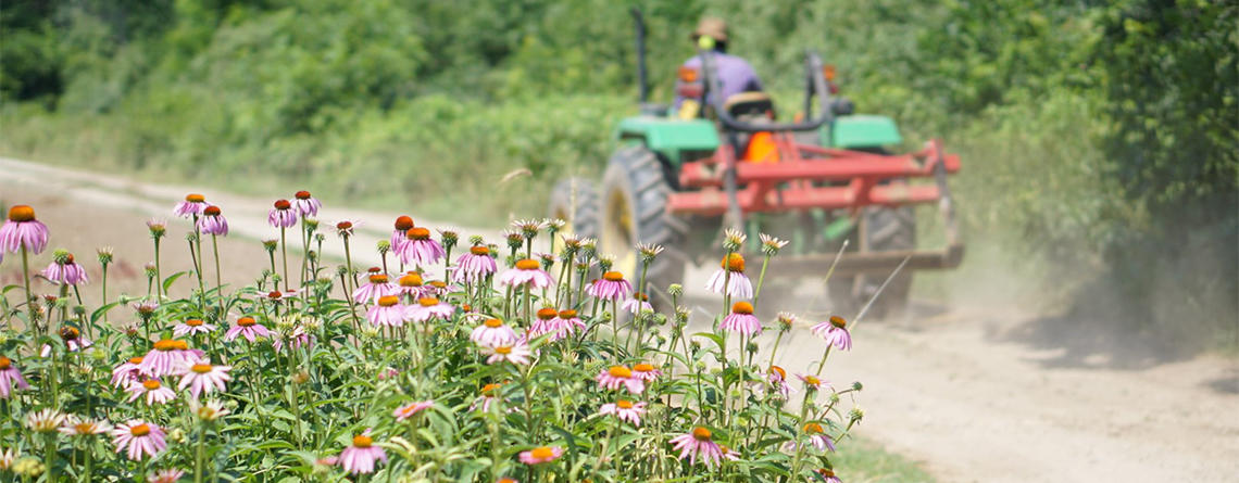 Tractor going by echinacea in the fields © Lindsay Tierney