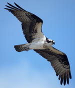 Osprey in flight © Tim Johnson