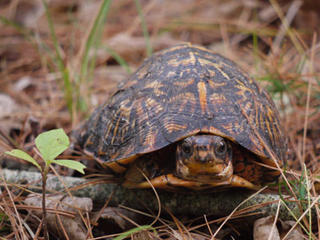 Box turtle © Richard Johnson