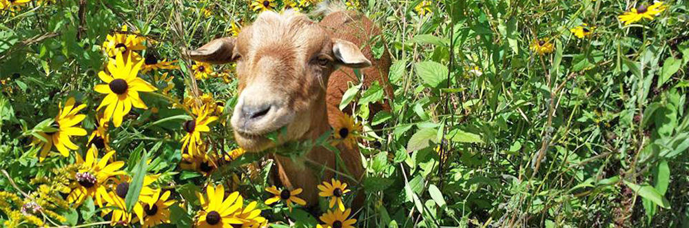 Goat in yellow flower patch