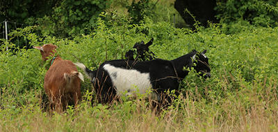 Habitat's goats in summer field