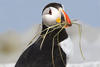 Puffin with nesting material © Sandy Selesky