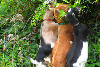 Three goats eating over a fence at Habitat