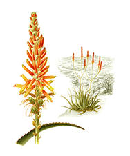 Chimanimani Aloe, painting by Doreen Bolnick