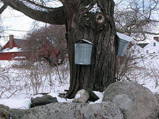 Sap buckets on tree © Marie-Anne Verougstraete