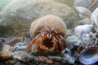 Hermit crab in touch tank