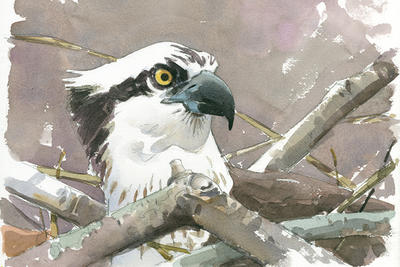 """Osprey on nest"" watercolor © Barry Van Dusen"