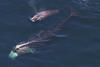 Aerial photo of right whales © Center for Coastal Studies (taken under NOAA Permit #14603-01)
