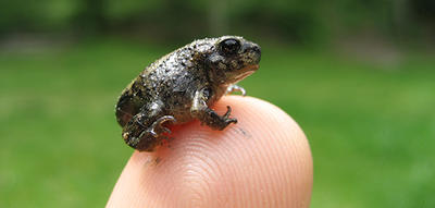 """Headstarted"" Eastern Spadefoot Toad on a fingertip at Long Pasture Wildlife Sanctuary"