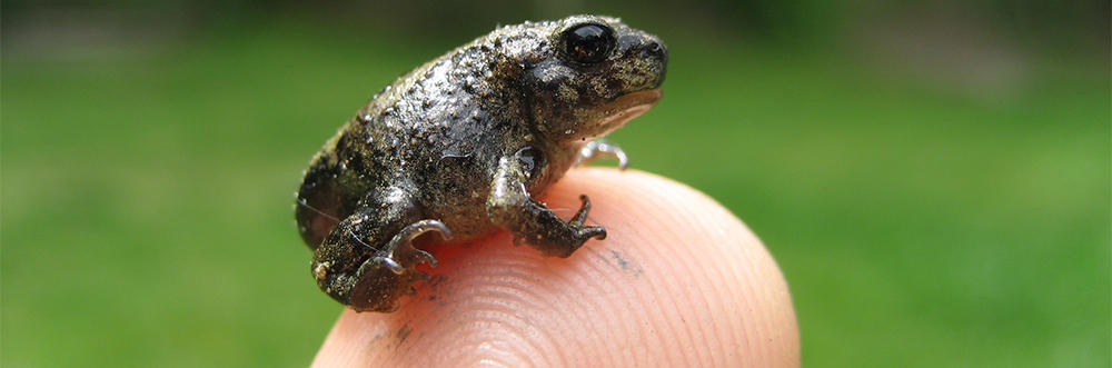 Eastern Spadefoot Toad on a fingertip