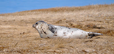 Seal near winter beach at Long Pasture © Cari Brennen