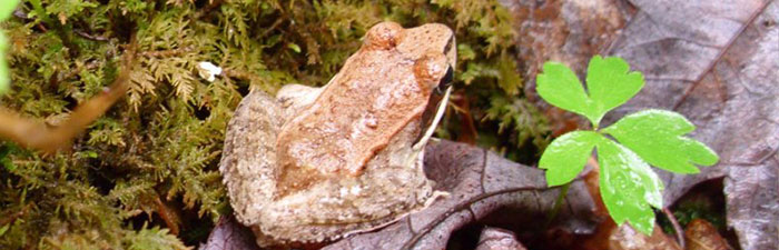 Wood frog at Lynes Woods Wildlife Sanctuary