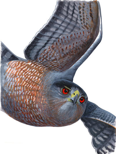 "Cooper's Hawk © David Sibley, acrylic - original art from ""What It's Like to Be a Bird"""