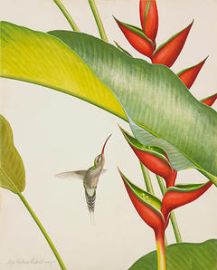 Green Hermit by Don Richard Eckelberry, watercolor. Woodson Art Museum Collection.