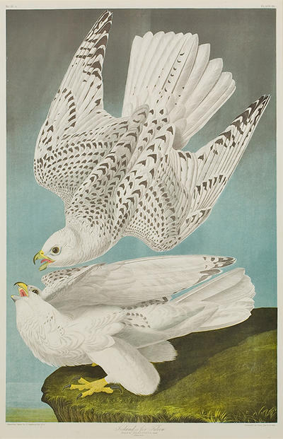 """Iceland or Jer Falcon"" by John James Audubon, chromolithograph, 1860."