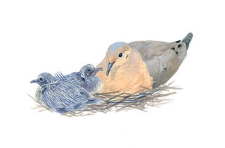 Mourning Doves watercolor © Julie Zickefoose