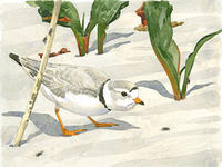 Piping Plover and Shore Flies © Barry Van Dusen